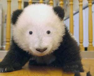 panda sin ojeras